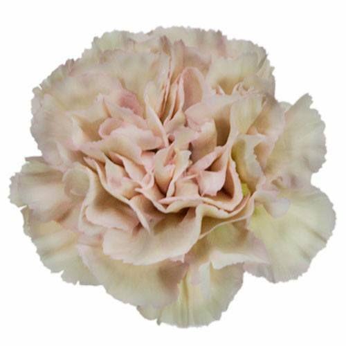 Dusty Pink Carnation Flowers Fiftyflowers Com Carnation Flower Carnations Carnation Colors