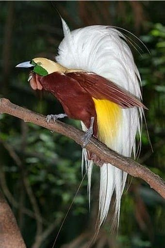 Lesser Bird of Paradise (Paradisaea minor). (New Guinea)