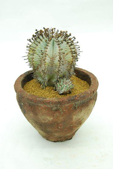 Euphorbia horrids