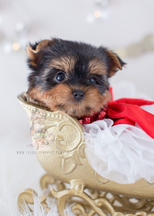 Christmas Puppy Beautiful Yorkshire Terrier Puppy For Sale Teacup