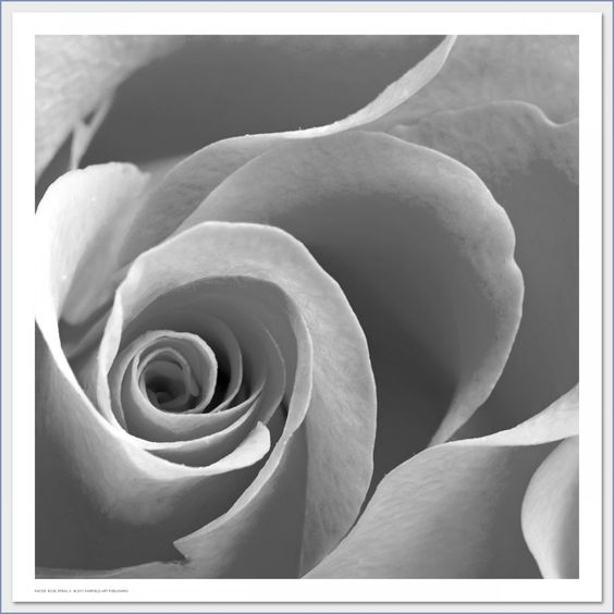 Rose Spiral II by Anon  Black and White photo featuring close-up of rose petals.
