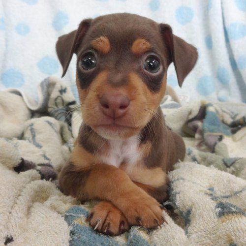 If You Re Looking For A Low Maintenance Dog Take A Look At Our List Of Small Dog Breeds With Short Miniature Pinscher Puppy Kittens And Puppies Dog Breeds List