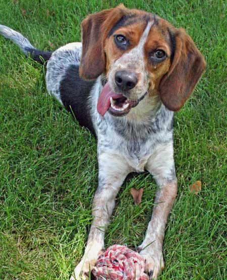 Blue Tick Hound Beagle mix