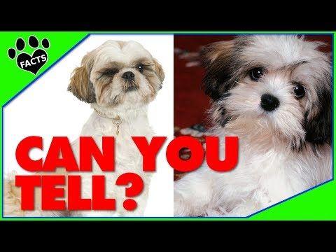 Lhasa Apso Vs Shih Tzu Dog Vs Dog Which Is Better Dog Vs
