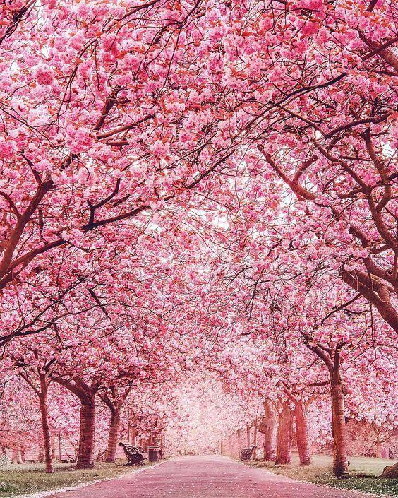 London Greenwich Park Pink Blossom Tree Nature Landscape
