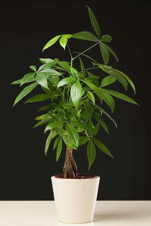 Money Tree Indoor Plants Plants Money Tree Plant