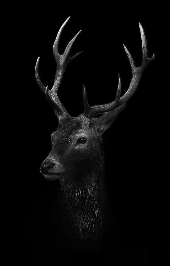 Red Stag in Black and white
