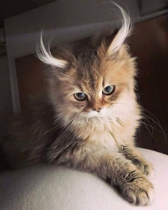 The fluffiest of fluffy ears!: