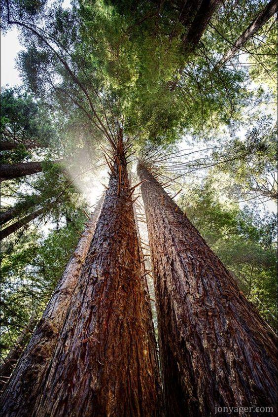 Magestic Redwoods