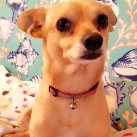 Jug Dog For Adoption In Birdsboro Pa Adn 414520 On Puppyfinder