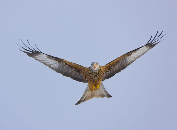 The Red Kite in Wales, a Conservation Success by Wild Wonders of Europe