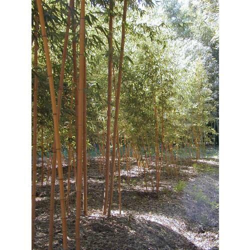 Bambou Phyllostachys aurea H