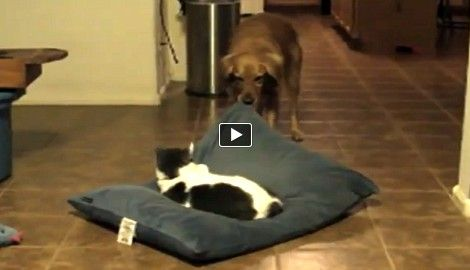 Katze nimmt sich Schlafplatz von Hund - Hund gibt alles, um auch schlafen gehen zu können :)  Author Link:http://www.huffingtonpost.com/2013/10/13/jerk-cats-love-stealing-dog-beds_n_4093467.html