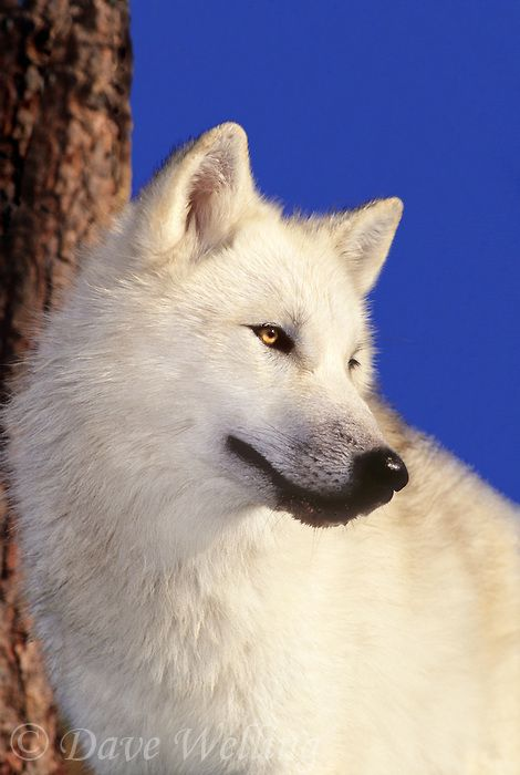 Snow white arctic wolf.: