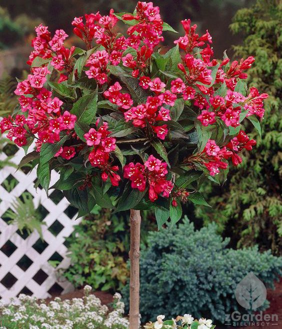 Krzewuszka Bristol Ruby Flower Gardening Diy Flower Garden Plants
