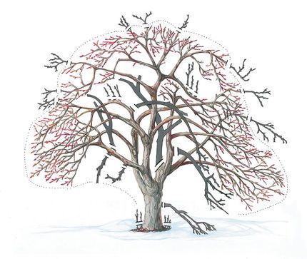 How to prune old neglected apple trees meet me outdoors pinterest trees apples and apple tree - Spring trimming orchard trees healthy ...