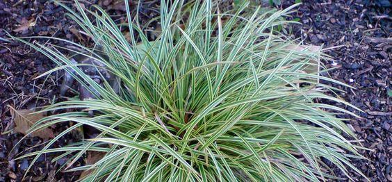 Bunte Japan Segge - Carex morrowii 'Variegata'