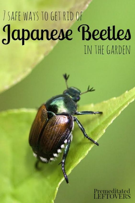 7 Safe Ways to Get Rid of Japanese Beetles in the Garden- Japanese beetles can wreak havoc on your garden plants. Here 7 ways to repel these pests safely.