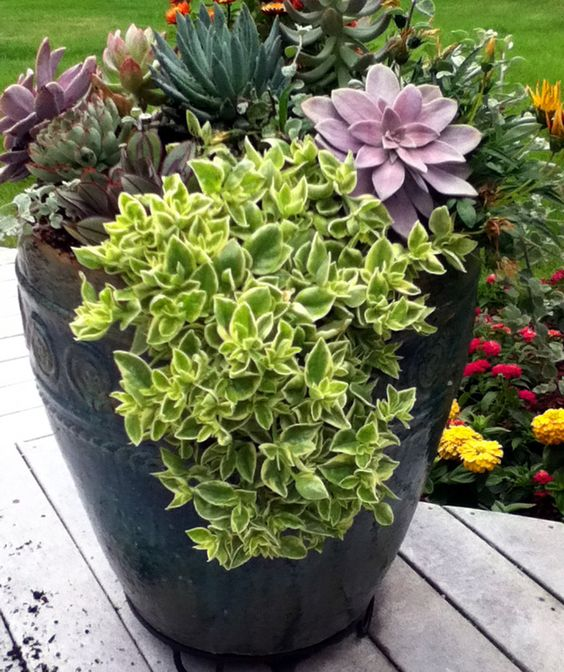 large trailing aptenia plant combos pinterest planters greenhouses and inspiration. Black Bedroom Furniture Sets. Home Design Ideas