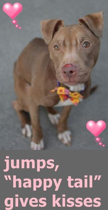 Brooklyn Center LAYLA – A1055097 FEMALE, TAN / WHITE, AM PIT BULL TER MIX, 5 yrs STRAY – STRAY WAIT, NO HOLD Reason STRAY Intake condition UNSPECIFIE Intake Date 10/17/2015 http://nycdogs.urgentpodr.org/layla-a1055097/