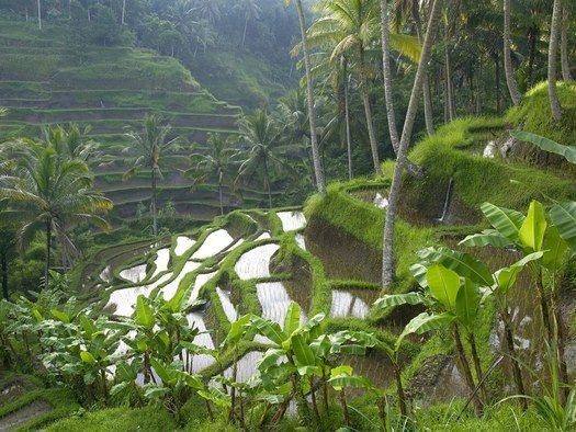 "Terraced Rice Paddy, Ubud, Bali-Indonesia. Bali's subak water management system is a ""coupled social-ecological system"". The Balinese, explains Stephen Lansing, have very different ideas. They think about time in terms of the multiple, concurrent and interlocking cycles found in nature."