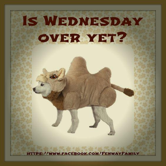 Funny Animal Wednesday Meme : Dog meme wednesday https facebook fenwayfamily