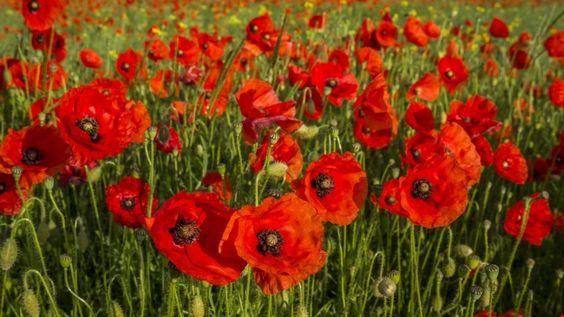 HD Hintergrundbilder mohn feld sommer blüte rot, desktop hintergrund