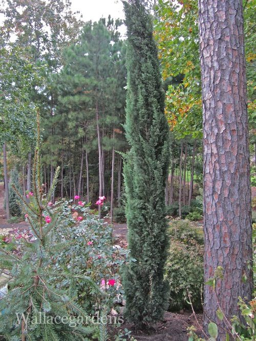Italian Cypress, vertical accent, use in protected locations in Zone 7B