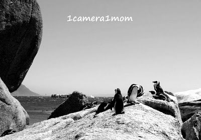 Boulders Beach, Cape Town and the protected African Penguin in Black and White