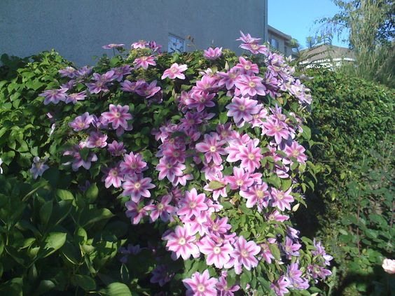 My Nelly Moser Clematis It Was Facing East For Morning