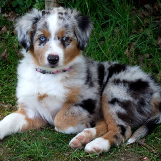 Miniature Australian Shepherd Breed Guide Learn About The In 2020 Aussie Puppies Miniature Australian Shepherd Australian Shepherd Puppies