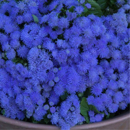 Amazon Com Floss Flower Blue Ball Ageratum Houstonianum Mill Flower Plant Seeds Annual Heirloom Garden O Planting Flowers Flowers Perennials Plants