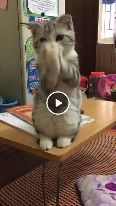 Acho que o gatinho está agradecendo o alimento