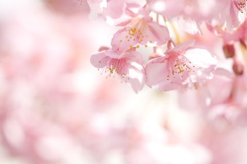 25 Cherry Blossoms Facts Things You Didn T Know About Cherry Blossom Trees Cherry Blossom Tree Cherry Blossom Art Blossom Trees