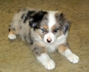Australian Shepherds are so cute!  (but I can't have them since they shed...)