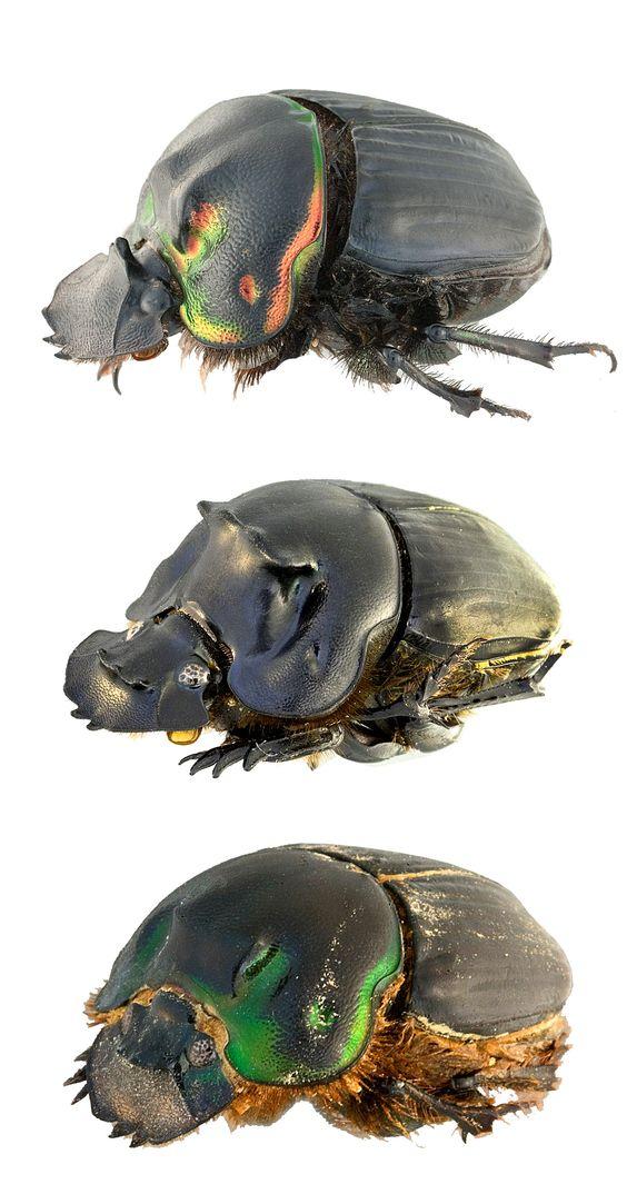 Coprophanaeus ignecinctus; Coprophanaeus morenoi; Coprophanaeus suredai