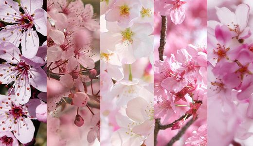50 Lovely Cherry Blossom Wallpapers To Brighten Your Desktop Naldz Graphics Cherry Blossom Wallpaper Cherry Blossom Blossom