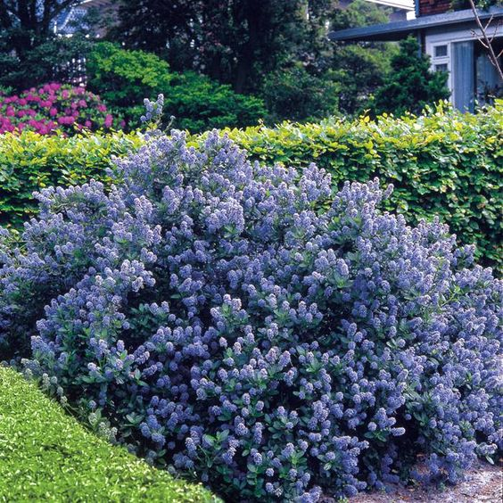 Flowering shrubs hedge 5 hedge plants ceanothus yankee for Fast growing drought tolerant trees