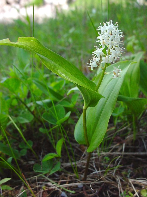 Canada Mayflower AKA Wild Lily-of-the-valley (Maianthemum canadense)