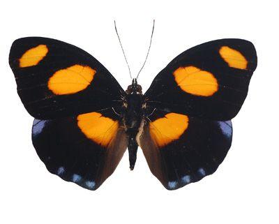 Grecian Shoemaker Butterfly | Catonephele numilia