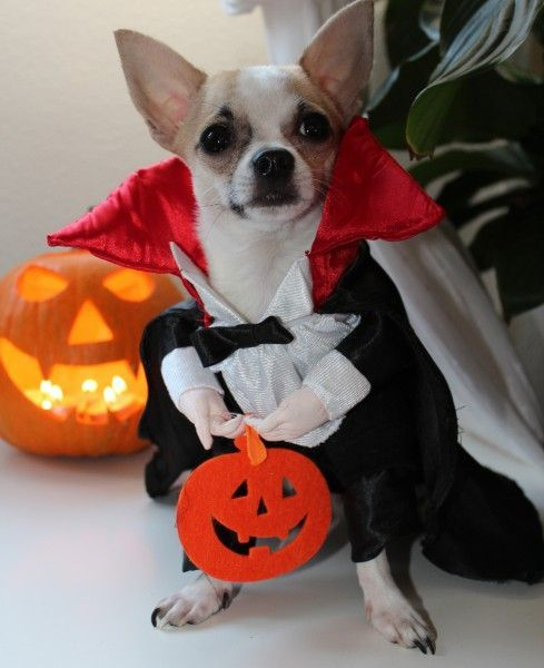 How about some dogs dressed up for Halloween Check out all of our other Dogs. #Dog #Instadog #Puppy #Puppylove #Instapuppy #Doglovers #Doglover #Puppydog #Doggylove #Cutedog #Cutedogs #halloween