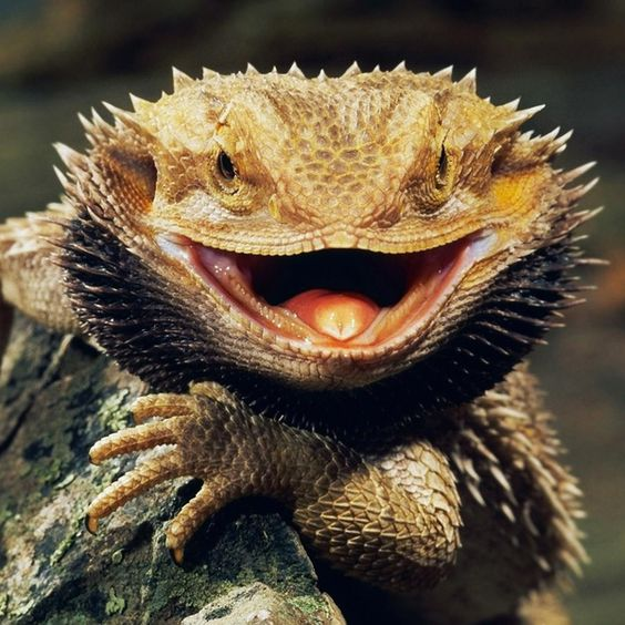 Bearded Dragon.: