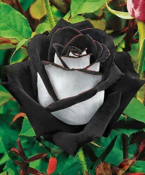 The Black Rose is found in a region in Turkey called Halfatty. They are very rare. This type has two colours, which makes it extremely rare.: