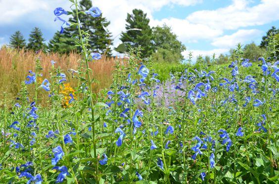 Salvia patens 'Patio Deep Blue' at Coastal Maine Botanical Gardens.