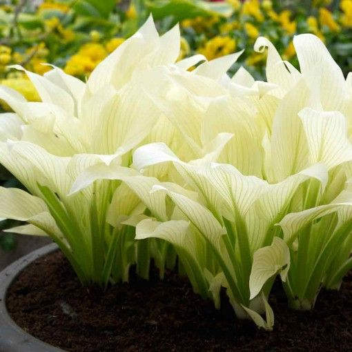 New variety of Hosta! White Feather has large pure white leaves that emerge in late spring/early summer. Throughout the summer green streaks develop on the foliage and lavender flowers rise up in summer.