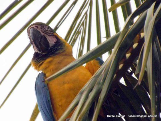 foco3 Rafael Santos: FOTOS ARARAS & TUCANOS