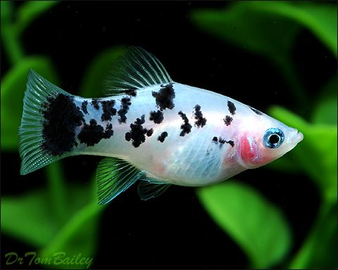 I want to get one of these I have a candy-wag and a suburst platy. but this one is really neat lookin, /Dalmatian platy