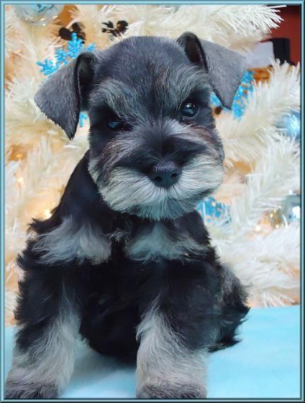 Paris a mini schnauzer puppy oh my Gosh what a beautiful