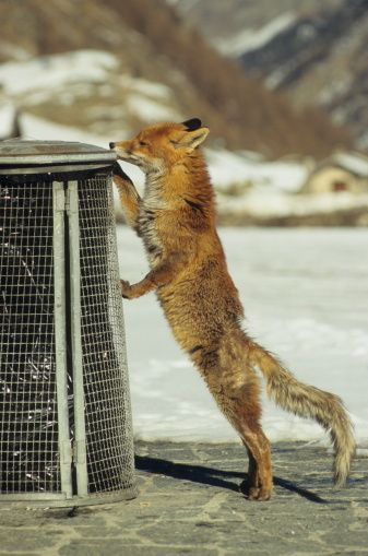 fox and garbage can - Google Search