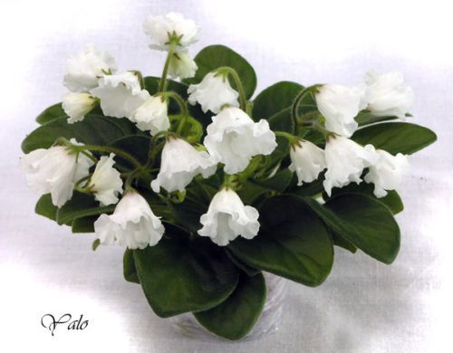 African Violet Alan's White Feather Leaf Bell Variety ...